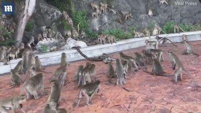 Bầy khỉ tấn công trăn khổng lồ để giải cứu đồng loại