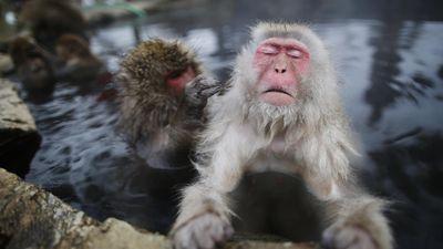 Khỉ tuyết thư giãn dưới suối nước nóng ở Nhật Bản