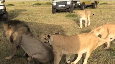 CLIP: Đàn sư tử cái tấn công 'chồng', bảo vệ con non