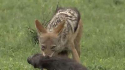 CLIP: Đàn lợn rừng 'tan hoang' bởi chó rừng và báo hoa mai