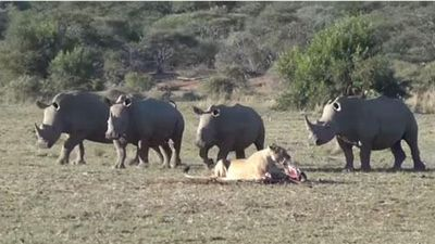 CLIP: Tê giác kéo nhau cà khịa đàn sư tử