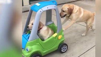 Ngộ nghĩnh chó tha mồi Labrador đẩy chó con bằng xe ô tô đồ chơi