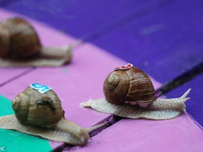 Tham dự cuộc thi điền kinh kỳ lạ này là những vận động viên ốc sên. Mặc dù di chuyển cực chậm thế nhưng mọi người vẫn vô cùng hào hứng khi chứng kiến cuộc đua ốc sên, đua nhau từng cm.
