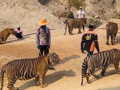 Chùa Wat Pha Luang Ta Bua (hay chùa Hổ) ở Thái Lan đổ lỗi cho chính phủ nước này về việc gây ra cái chết của 86 con hổ đã được giải cứu khỏi ngôi chùa từ năm 2016.
