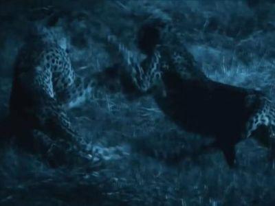 Anh em báo săn Gunner trả giá đắt khi chiến đấu với Savuti, đàn báo săn vượt trội về cả sức mạnh lẫn kinh nghiệm chiến đấu.