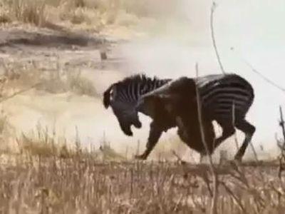 Bị sư tử bám chặt trên lưng, con ngựa vằn không hề tỏ ra yếu thế mà có màn phản đòn vô cùng mạnh mẽ. Dù bị chống trả quyết liệt nhưng sư tử vẫn cố bám chặt lấy cổ ngựa vằn nên đã bị kéo lê đi một quãng đường xa. Khi biết mọi chuyện vượt tầm kiểm soát, sư tử đành bỏ cuộc để ngựa vằn chạy thoát.