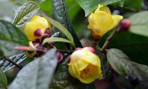 Khám phá 'nữ hoàng của các loại trà' quý hiếm ở VN