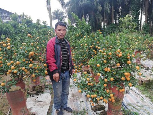 Quất bonsai ở Tứ Liên, đào Nhật Tân đã sẵn sàng tung ra thị trường tết