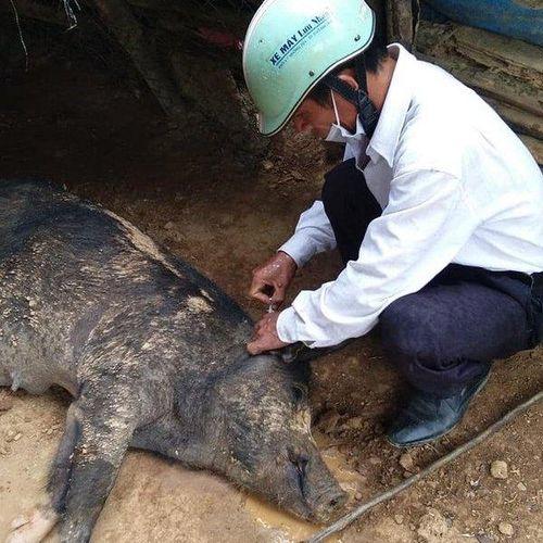 Lợn chết do dịch tả, người dân vẫn mổ thịt để ăn
