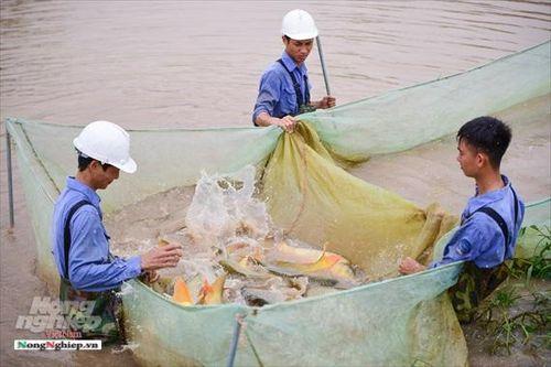 Cận cảnh đàn cá bố mẹ khổng lồ được tuyển chọn ở Viện nghiên cứu thủy sản I