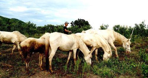 Đẹp tuyệt đàn ngựa bạch giữa dòng sông Ba