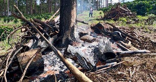 Xót xa cảnh rừng thông 30 năm tuổi bị bức tử chết đứng