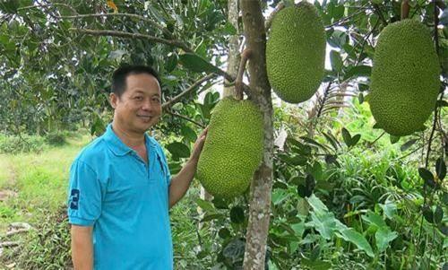 Sóc Trăng: Phát 'sốt' với mít Thái, 1,4 triệu/quả, bán cả vườn được hơn 1,1 tỷ