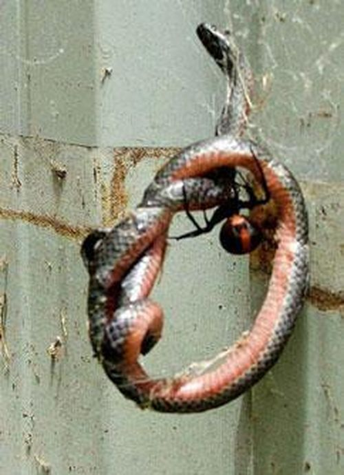 Kinh hoàng trước cảnh tượng rắn chết thảm bởi loài nhện