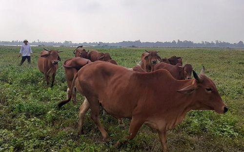 Hưng Nguyên (Nghệ An):Đề án phát triển đàn bò xóa nghèo hiệu quả