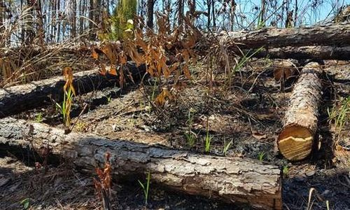 Phá tan hoang rừng thông ở Phi Liêng rồi treo biển... bán đất