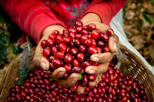 Giá cà phê hôm nay 23/2: Thị trường thế giới lao dốc mạnh