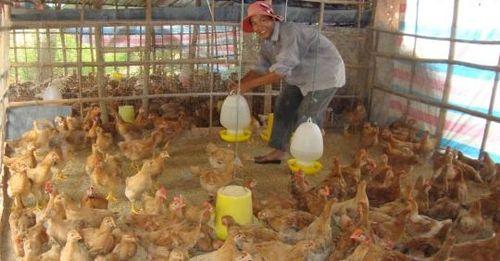 Phú Yên: Nâng cao hiệu quả chăn nuôi gia cầm