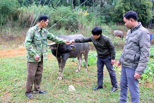 Đàn gia súc có nguy cơ phát dịch vì chưa có vaccine tiêm phòng