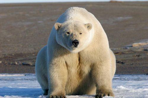 Nhiếp ảnh gia và chuyến đi săn gấu Bắc Cực