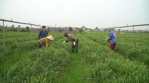 Hà Nội: Mô hình rau hữu cơ sạch tới mức có thể ăn ngay tại ruộng