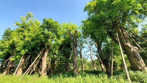 Xử lý cây xanh đánh chuyển từ đường Kim Mã: Phương án nào hiệu quả?