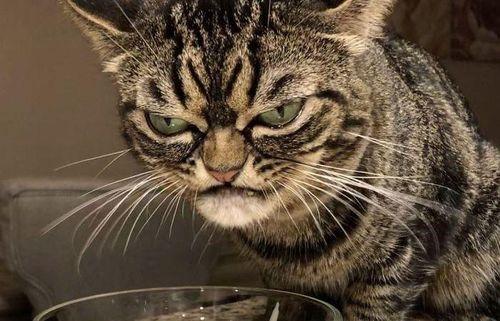 Kitzia, chú mèo nổi tiếng mạng xã hội với gương mặt cau có