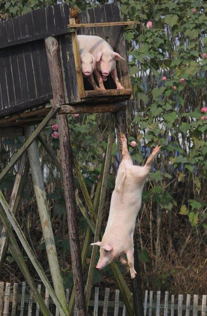 ... Nuôi Lợn Tại Hồ Nam, Đã Biến Trại Lợn Của Mình Thành Một Điểm Thu Hút  Du Khách - Những Người Tìm Đến Để Xem Liệu Lợn Có Thể Bay Hay Không.