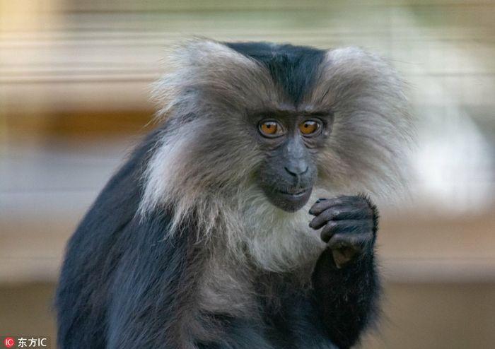 Nhiếp Ảnh Gia Craig Smith Đã Ghi Lại Những Hình Ảnh Thú Vị Này, Khi Con Khỉ  Cầm Trên Tay Một Thứ Gì Đó Màu Trắng Hình Que.