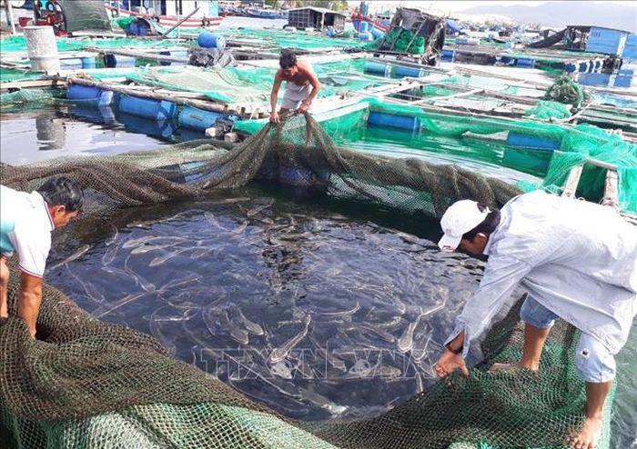 Tôm hùm, cá bớp, ốc hương chết hàng loạt tại Khánh Hòa