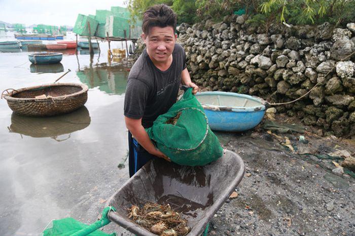 Tôm hùm ở Cam Ranh chỉ còn 100.000 đồng/kg sau bão