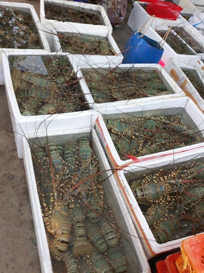 Tôm hùm nuôi bất ngờ chết hàng loạt, thiệt hại cả chục tỷ đồng