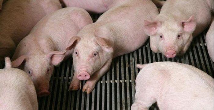 Báo Đời Sống Plus: Giá heo (lợn) hơi hôm nay 1/4: Các công ty chăn nuôi heo lớn tăng giá thu mua, thị trường có dấu hiệu khởi sắc