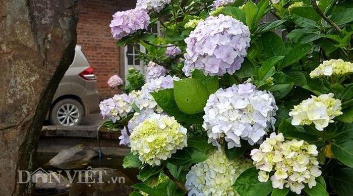 Báo Dân Việt: Du khách thích thú check- in cùng hoa cẩm tú cầu trên đỉnh Mẫu Sơn