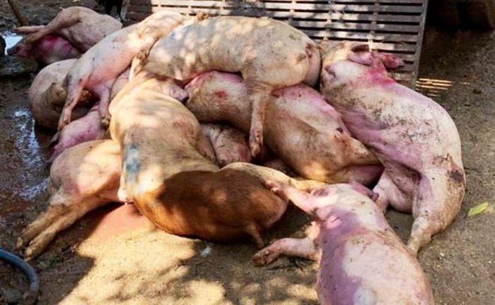 Báo Lao Động: Thêm ổ dịch thứ 4, Hậu Giang gồng mình chống dịch tả lợn Châu Phi