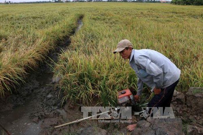 Báo Tin Tức TTXVN: Hơn 700 ha lúa ở Hậu Giang bị đổ ngã do mưa lớn
