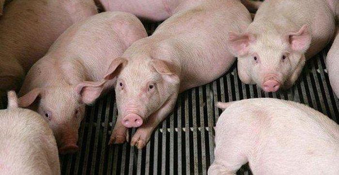 Báo Đời Sống Plus: Giá heo (lợn) hơi hôm nay 27/6: Miền Bắc chững lại, miền Nam tiếp tục giảm giá