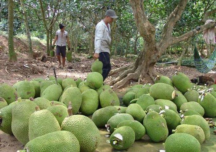 Báo Dân Việt: Trung Quốc định trồng 180.000ha mít, người trồng mít Thái lo sốt vó