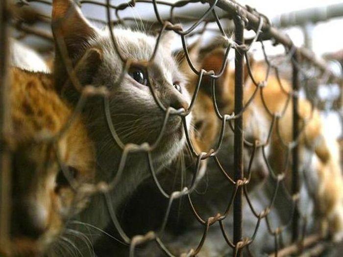 Ăn thịt mèo, cuộc bàn cãi về mức độ an toàn