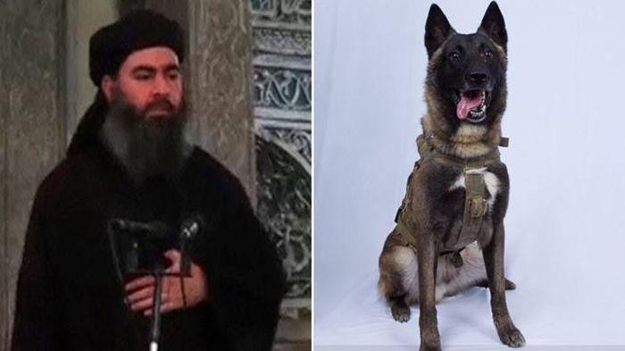 Đặc điểm của giống chó chăn cừu Bỉ Malinois được đặc nhiệm Mỹ sử dụng để tiêu diệt các trùm khủng bố