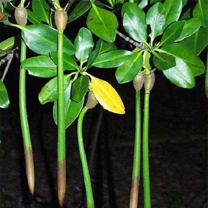 Kỳ lạ loài cây duy nhất ở Việt Nam có khả năng đặc biệt: Sinh và nuôi 'con'