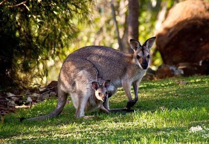 1001 thắc mắc: Kangaroo kì lạ tới mức nào?